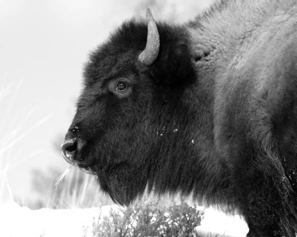 Buffalo Poster featuring the photograph Buffalo Black And White by Brandon Ostermiller