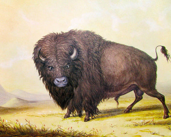 George Catlin Poster featuring the digital art Bull Buffalo by George Catlin