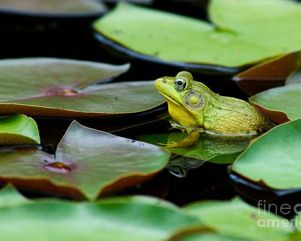 Animal Poster featuring the photograph Bullfrog by Jim Zipp