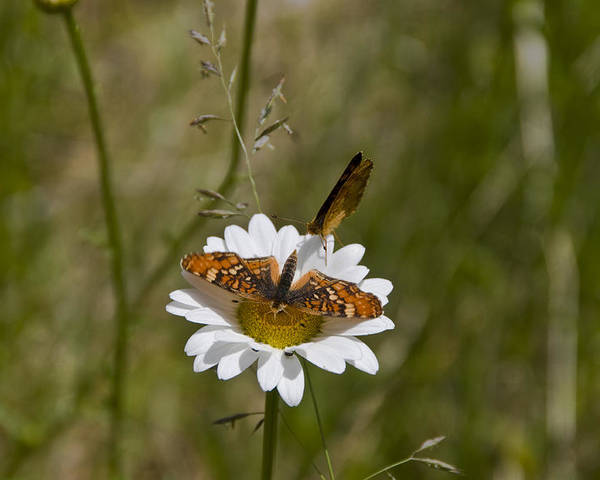 Variegated Fritillary Poster featuring the photograph Butterflies And Daisy In A Yosemite Meadow by Scott Lenhart