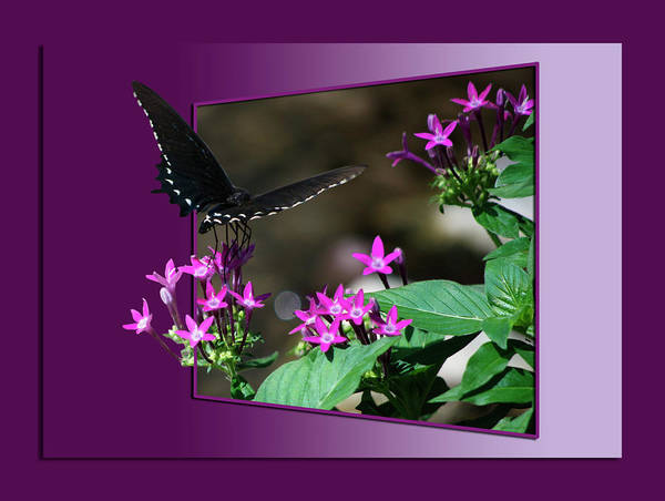 Butterfly Poster featuring the photograph Butterfly Black 16 By 20 by Thomas Woolworth