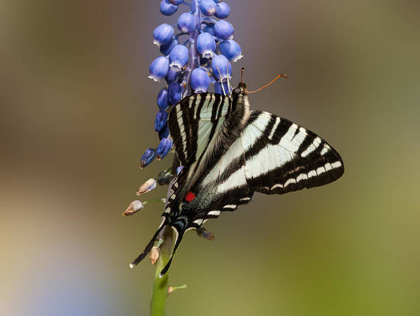Zebra Swallowtail Poster featuring the photograph Butterfly Delight by Lara Ellis