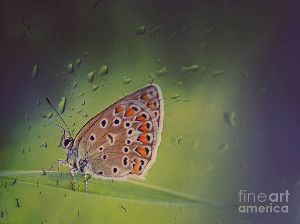 Butterfly Poster featuring the photograph Butterfly by Diana Kraleva
