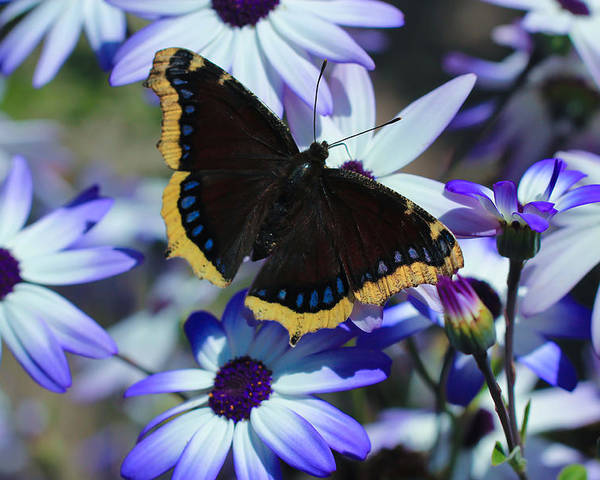 Mourning Cloak Poster featuring the photograph Butterfly In Blue by Heidi Smith