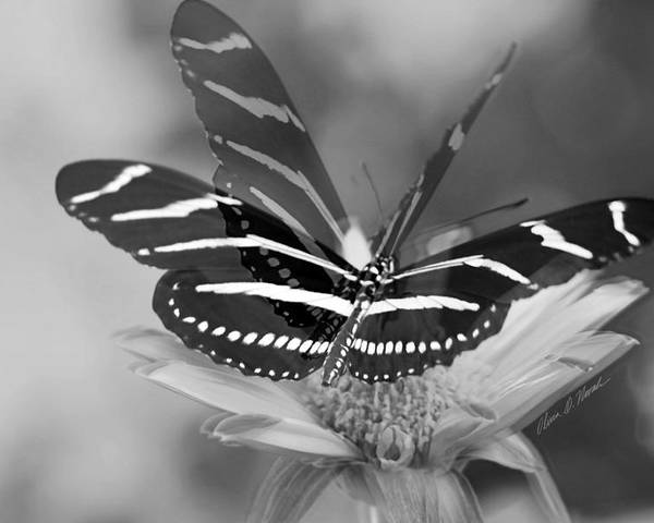Zebra Butterfly Poster featuring the photograph Butterfly In Motion by Olivia Novak