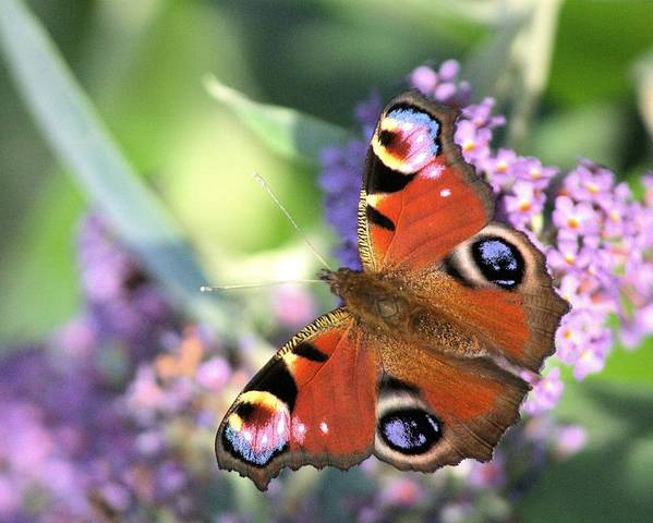 Butterfly Poster featuring the photograph Butterfly On Buddleia by Gordon Auld