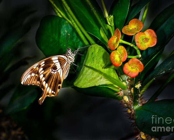 Butterfly Poster featuring the photograph Butterfly Portrait by Ken Andersen