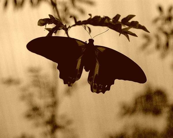 Butterfly Silhouette Poster featuring the photograph Butterfly Silhouette by Kristi Henigar