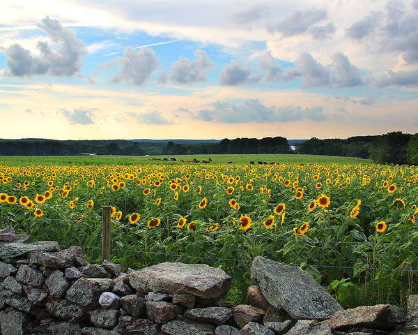 Sunflowers Poster featuring the photograph Buttonwood Farm Sunflowers by Andrea Galiffi