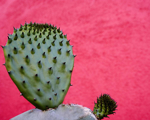Tucson Poster featuring the photograph Cactus and Pink Wall by Carol Leigh