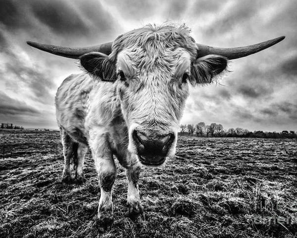 Cadzow Cattle Poster featuring the photograph Cadzow White Cow Female by John Farnan