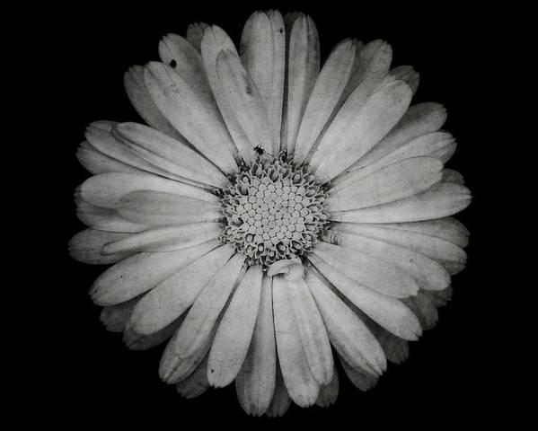 Calendula Poster featuring the photograph Calendula Flower - Textured Version by Laura Melis