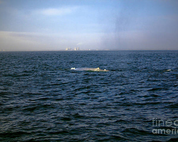 Whale Poster featuring the photograph California Blue Whale by Loretta Jean Photography