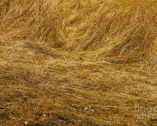 Napa Valley California Grass Golden Grasses Texture Textures Gold Poster featuring the photograph California Gold by Bob Phillips