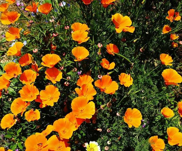 California Poppies Poster featuring the photograph California Poppies by Mimi Saint DAgneaux