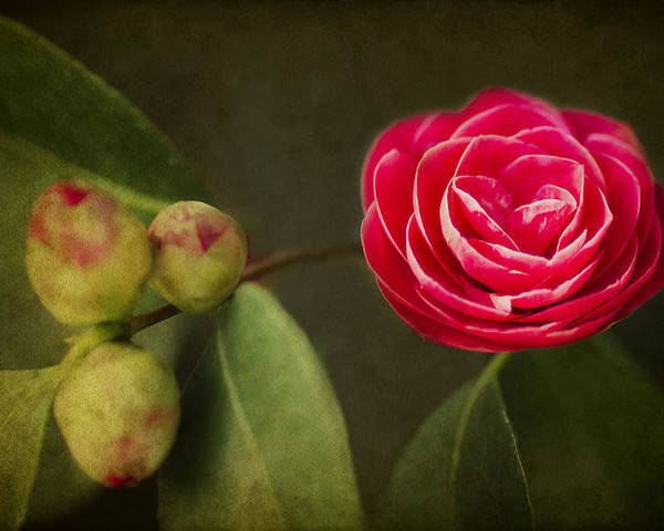 Camellia Poster featuring the photograph Camellia by Rebecca Cozart