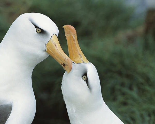 Feb0514 Poster featuring the photograph Campbell Albatrosses Courting Campbell by Tui De Roy