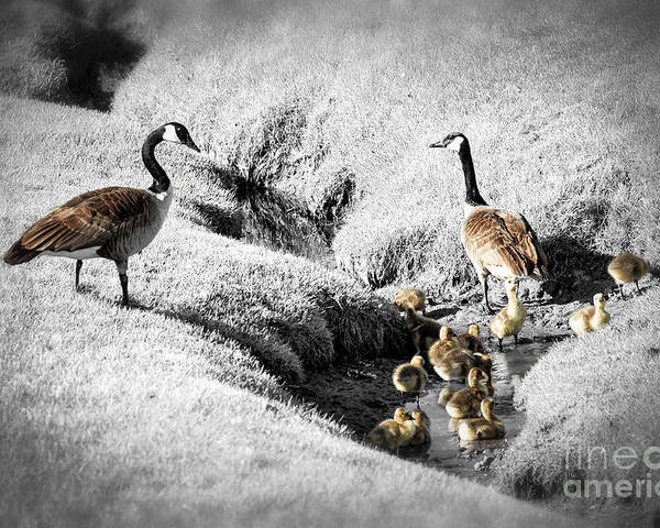 Goose Poster featuring the photograph Canada Geese Family by Elena Elisseeva