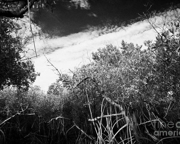 Florida Poster featuring the photograph Canopy Of The Mangrove Forest In The Florida Everglades Usa by Joe Fox