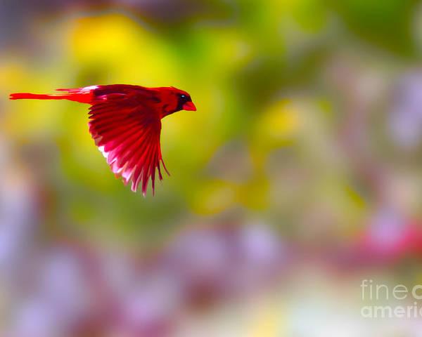 Bird Poster featuring the photograph Cardinal In Flight by Dan Friend