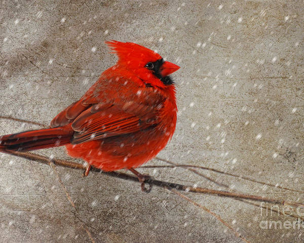 White Christmas Poster featuring the photograph Cardinal In Snow by Lois Bryan