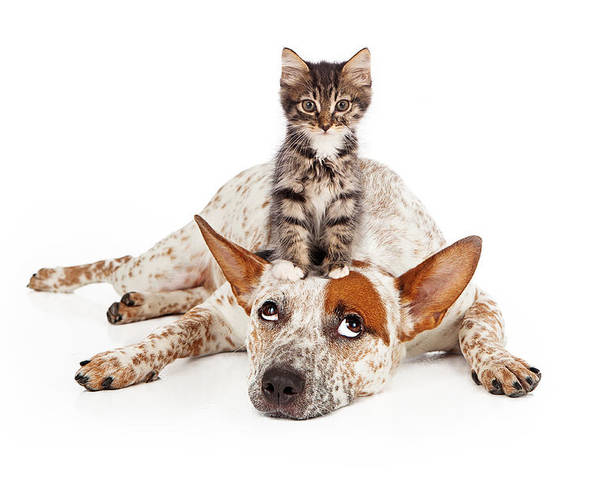 Animal Poster featuring the photograph Catte Dog With Kitten On His Head by Susan Schmitz
