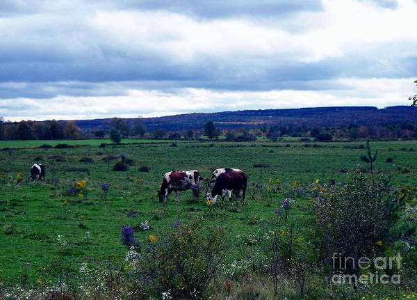 New York Poster featuring the photograph Cattle At Pasture by Christian Mattison