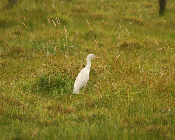 Cattle Egret Poster featuring the photograph Cattle Egret by Robert Hamm