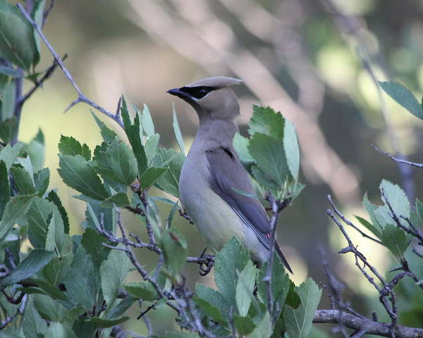 Bird Poster featuring the photograph Cedar Waxwing On The Malheur National Forest by Mike Bohannon