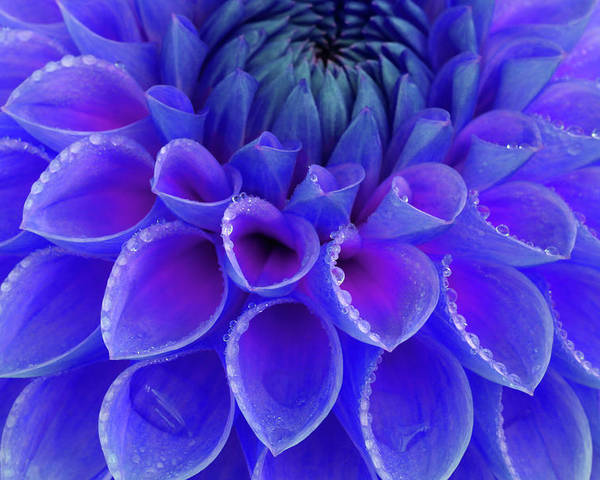 Haslemere Poster featuring the photograph Centre Of Blue And Purple Dahlia Flower by Rosemary Calvert