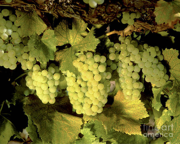 Cluster Poster featuring the photograph Chardonnay Wine Clusters by Craig Lovell