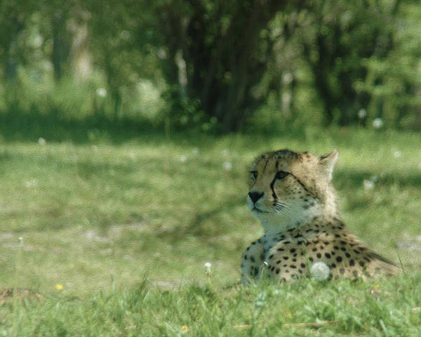 Cheetah At Rest Poster featuring the photograph Cheetah At Attention by Tracy Winter