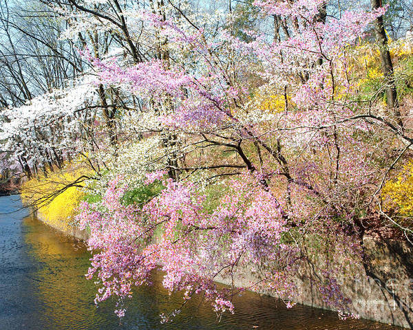 Cherry Blossoms Poster featuring the photograph Cherry Blossom Land by Regina Geoghan