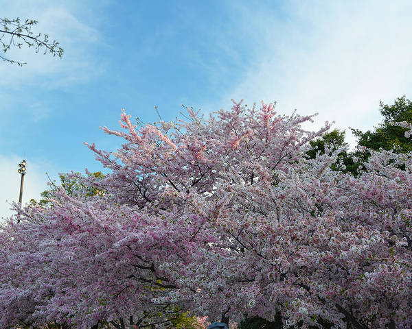 Architectural Poster featuring the photograph Cherry Blossoms 2013 - 070 by Metro DC Photography