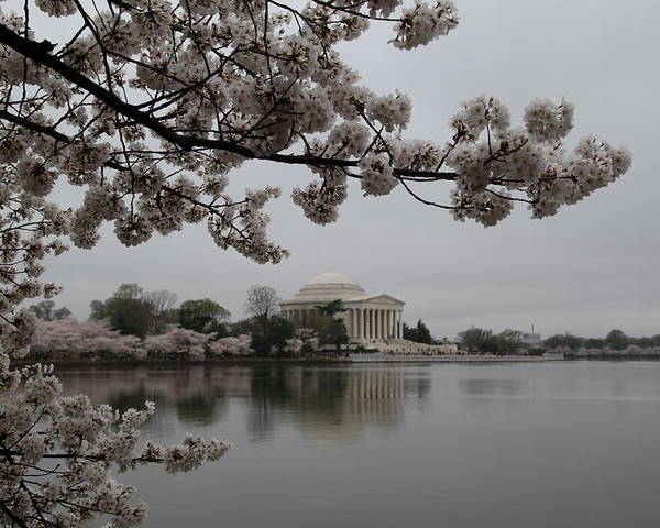 America Poster featuring the photograph Cherry Blossoms With Jefferson Memorial - Washington Dc - 011343 by DC Photographer