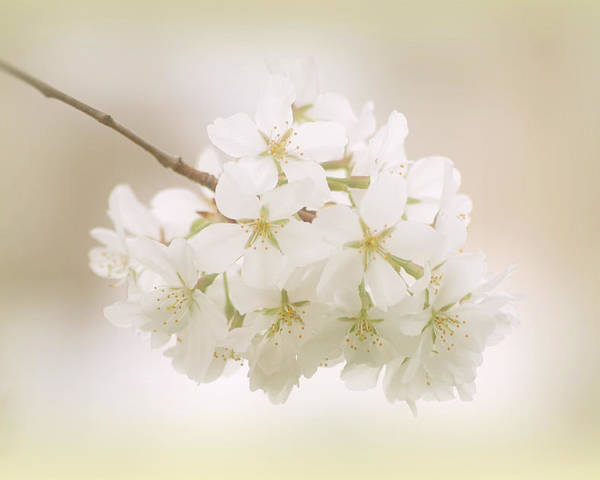 Cherry Tree Blossoms Poster featuring the photograph Cherry Tree Blossoms by Sandy Keeton