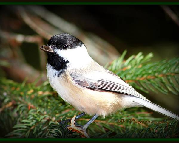 Nature Poster featuring the photograph Chickadee by Michaela Preston
