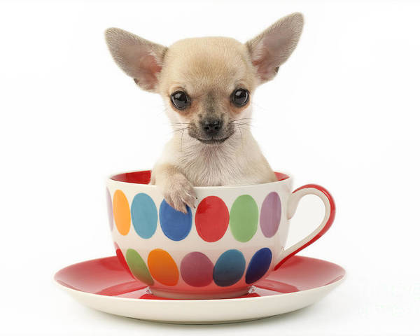 Chihuahua Poster featuring the digital art Chihuahua In Cup Dp684 by Greg Cuddiford