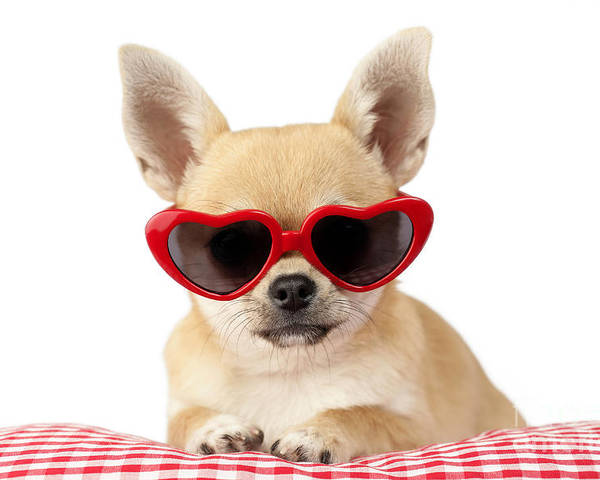 Chihuahua Poster featuring the digital art Chihuahua In Heart Sunglasses Dp813 by Greg Cuddiford