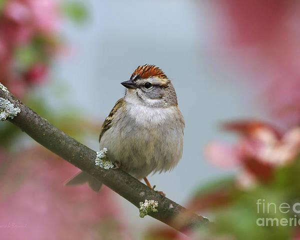 Bird Poster featuring the photograph Chipping Sparrow In Blossoms by Deborah Benoit