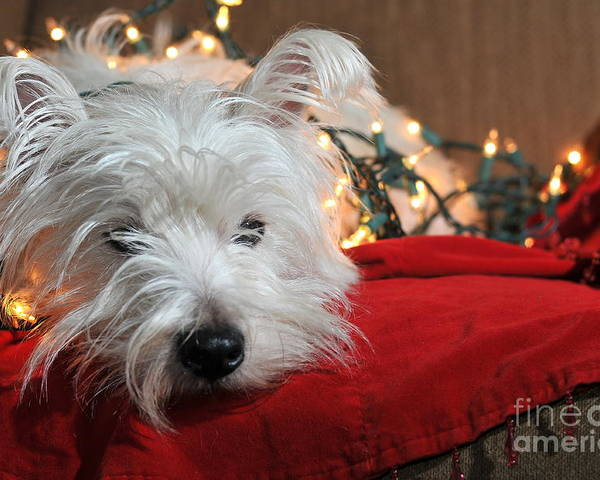 West Highland Terrier Poster featuring the photograph Christmas Westie by Catherine Reusch Daley