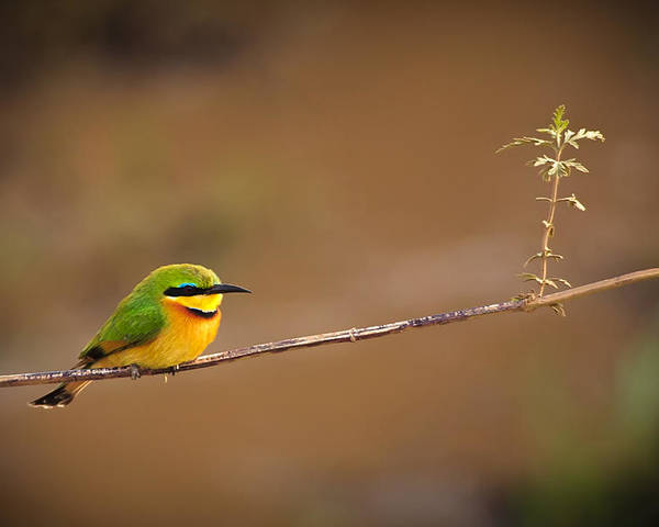 3scape Photos Poster featuring the photograph Cinnamon-chested Bee-eater by Adam Romanowicz
