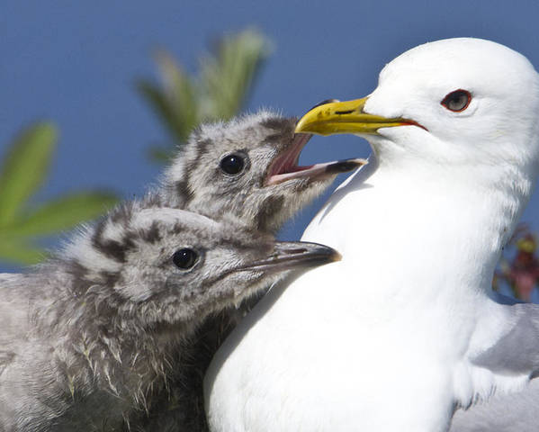 Hungry Poster featuring the photograph Close Up Of A Mew Gull With Two Hungry by Ken Baehr