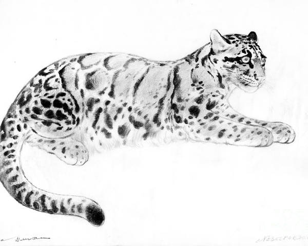 Clouded Leopard Poster featuring the drawing Clouded Leopard by Kurt Tessmann
