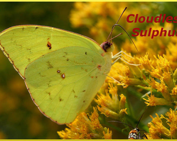 Butterfly Poster featuring the photograph Cloudless Sulphur by April Wietrecki Green