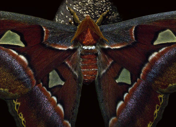 Moth Poster featuring the photograph Coat Of Many Colors by Murray Bloom
