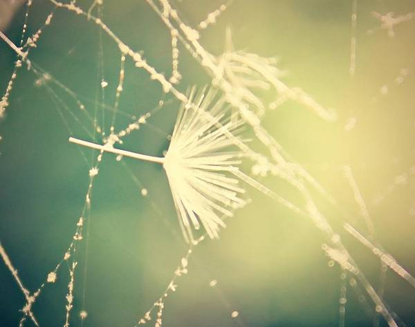 Dandelion Poster featuring the photograph Cobweb Dandelion Seed by Candice Trimble