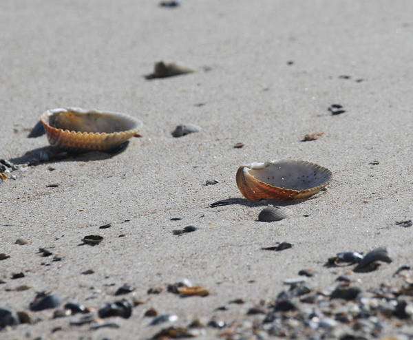 Shell Poster featuring the photograph Cockle Shells On Little Island by Cathy Lindsey