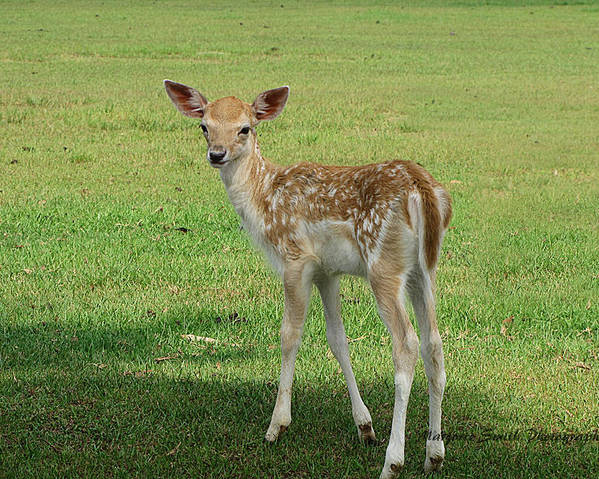 Young Deer...global Wildlife Reserve Poster featuring the photograph come on Momma by Marjorie Smith