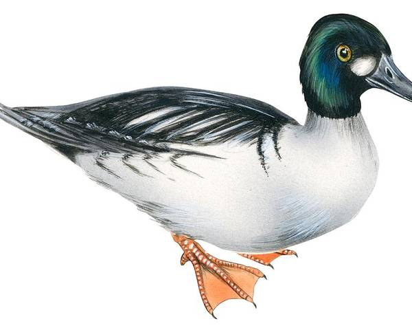 No People; Horizontal; Full Length; White Background; Standing; One Animal; Animal Themes; Illustration And Painting; Common Goldeneye; Bucephala Clangula; Bird; Aquatic Poster featuring the drawing Common Goldeneye by Anonymous